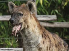 Hyne tachete_LOPITO (Passion Animaux & Photos) Tags: hyene tachetee spotted hyena amneville zoo france