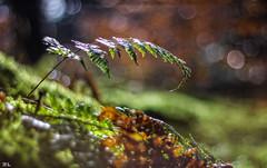 Herbststimmung im Wald mit Licht & Schatten... (roland_lehnhardt) Tags: canon ef50mmf18ii eos60d natur wald bokeh tiefenschrfe schrfentiefe unschrfe pov dof nature nahaufnahme close up pflanzen forest bubbles autumn atmosphere reflection light shadow grn green