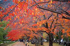 Autumn Street (tez-guitar) Tags: cherry tree autumn autum 紅葉 autumn leaf leaves trees wood forest pentax pentaxart kawaguchiko