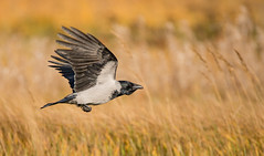Crow (dunderdan77) Tags: bird fgel sweden sverige helsingborg natur nature nikon tamron wildlife inflight flygande krka crow