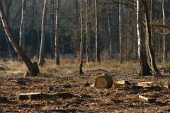 ckuchem-7203 (christine_kuchem) Tags: wald abholzung baum baumstmme bume einschlag fichten holzeinschlag holzwirtschaft waldwirtschaft
