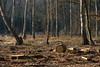 ckuchem-7203 (christine_kuchem) Tags: wald abholzung baum baumstämme bäume einschlag fichten holzeinschlag holzwirtschaft waldwirtschaft