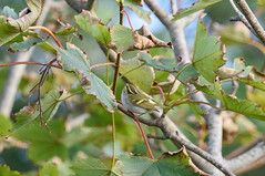 Pallas's Warbler (angus molyneux) Tags: pallasswarbler scilly stmarys
