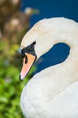 (W4115y) Tags: low barns lowbarns nature natural trust naturaltrust wildlife birds bird swan mute muteswan
