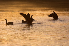 Morning stretch (KevPBur) Tags: brantacanadensis canadagoose canon650d canonkissx6i canonrebelt4i canon70200mmf28lisiiusm canonextenderef14xiii dintonpastures dawn feathers flap geese golden pond silhoutte sunrise water wings canon650dcanonkissx6icanonrebelt4i