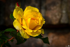 October Autumn Rose (BraCom (Bram)) Tags: bracom rose roos yellow geel herfst autumn leaf blad wall muur noordgouwe zeeland schouwenduiveland nederland netherlands holland canoneos5dmkiii canon canonef24105mm bramvanbroekhoven nl