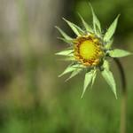 Budflower thumbnail