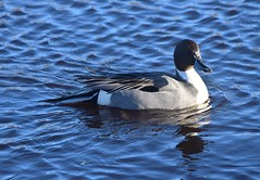 Northern Pintail (careth@2012) Tags: duck wildlife nature reflection beak feathers lake northernpintail