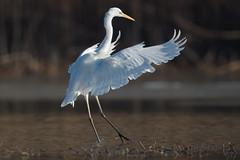 Silberreiher 029 (bertheeb) Tags: silberreiher reiher wasservogel