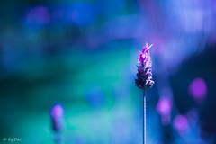 Lavender in blue sea... (byDAC) Tags: flores flor flowers flower colores colour colours colors color macro nature light luz azl violeta celeste