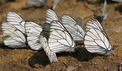 Aporia crataegi - Боярышница (igormilekhin) Tags: aporia crataegi butterfly insect white outdoor sun бабочка боярышница белая