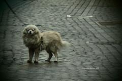 Cagnolino al guinzaglio (sandra_simonetti88) Tags: dog smalldog lace cane cagnolino walkthedog walkingthedog pet white bianco apasseggio cute cuteness