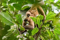 Silvery woolly monkey ( Lagothrix poeppigii ) (Pito-pito) Tags: cuyabeno amazonia amazonie amazoniequatorienne equateur ecuador monkey mono singe primate lagothrixpoeppigii silverywoollymonkey woollymonkey monolanudo animal animaux wild wildlife nature nikon nikond750 nikkor tamron tamron150600 jungle river