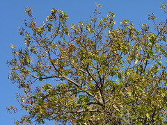 Paulownia (Dendroica cerulea) Tags: princesstree paulowniatomentosa paulownia paulowniaceae lamiales tree invasive invasivespecies autumn highlandparkmeadows highlandpark middlesexcounty nj newjersey