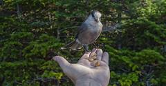 Canada_Jay_01 (mrbanjo1138) Tags: canadajay greyjay whiskeyjack canadasnationalbird