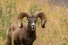 Really? (craig goettsch) Tags: yellowstonenp wyoming rockymountainbighornsheep mammal ram autumn wildlife nature nikon d500 sunrays5 ngc specanimal npc