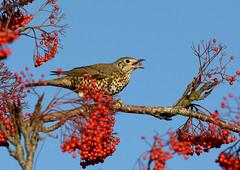 mistle thrush (ianwoodthompson) Tags: bird thrush mistle
