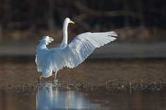 Silberreiher 030 (bertheeb) Tags: silberreiher reiher wasservogel