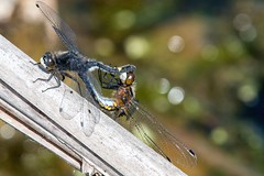 2016 Dot-tailed Whiteface Dragonflies Mating (Leucorrhinia intacta) 2 (DrLensCap) Tags: dottailed whiteface dragonflies mating leucorrhinia intacta moraine hills state park mchenry illinois il bug ionsect dragonfly dragon fly robert kramer