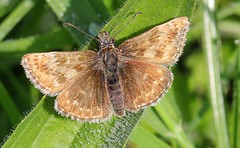 Dingy Skipper 260516 (2) (Richard Collier - Wildlife and Travel Photography) Tags: butterflies british wildlife naturalhistory macro dingyskipper insects