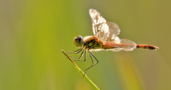 Libelle (michel1276) Tags: libelle libellule odonata dragonfly insekt insect makro macro tier animal outdoor sommer summer haltern