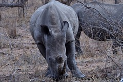 South Africa--Kruger One 026 (REBlue) Tags: southafrica mpumalangaprovince krugernationalpark whiterhino bigfive