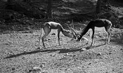 Antelopes (Marie Deflandre) Tags: antelope antilope antelopes antilopes nb bw 50mm 18 f18 canon 1100d rebel t3