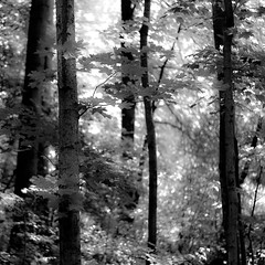 Lost In Woods 003 (noahbw) Tags: captaindanielwrightwoods d5000 dof nikon blackwhite blackandwhite blur branches bw depthoffield forest landscape leaves light monochrome natural noahbw shadow square summer trees woods