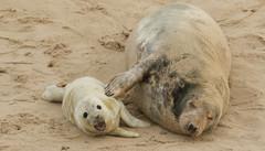 A smiling Grey Seal pup and mum. (Sandra Standbridge.) Tags: greyseal animal mammal smiling pup baby newnorn horsey norfolk wildandfree wild wildlife cure adorable beach sand seaside coastal newborn