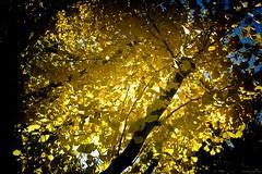 autumn leaf (travel_scene) Tags: ifttt 500px maidenhair tree ginkgo autumn leaf leaves park filtering sunlight trees yellow 木漏れ日 銀杏 紅葉 葉 木