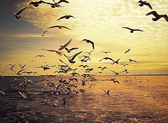 Shithawks Redux (Thought Knots Design) Tags: watershine thought knots design photography ocean atlantic sea water coast east antigonish nova scotia canada maritime maritimes tkd bird seagull seagulls birds flock flockers