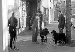 Dog Scenes (Sherlock77 (James)) Tags: calgary kensington streetphotography people man woman dog