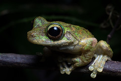 IMG_9918-2 (stephanietodd2) Tags: frog litoria serrata