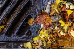 Autumn is gone (kyrsos.) Tags: november autumn city dirty environment garden grid leaf leaves mesh metal nature outdoor pavement rain season sewage street underground urban water yellow sigma1750mmf28 1750mmf28exdcoshsm