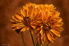 Watch Keepers 1129 Copyrighted (Tjerger) Tags: nature beautiful beauty bloom brown closeup duo fall flora floral flower green macro mum orange petals plant portrait stems two wisconsin watchkeepers natural orangebackground