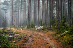 The Fog (Jonas Thomn) Tags: fog dimma mist skog forest trd trees trunks stammar road vg dust jord november hst autumn fall dirt stones stenar sandsund jakobstad pietarsaari jeppis suomi finland