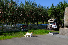 Untitled (pon-ko) Tags: 猫 cat リンゴ apple 弘前 hirosaki xt1