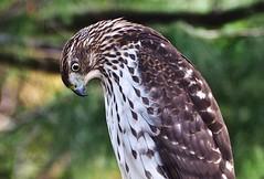 Hawkeye (Professor Bop) Tags: professorbop drjazz hawk olympusem1 telephoto connecticut outdoor bird nature