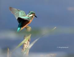 Kingfisher (Mritz Nationalpark) (Sakerfalke) Tags: kingfisher eisvogel mritznationalpark sakerfalkefotografie