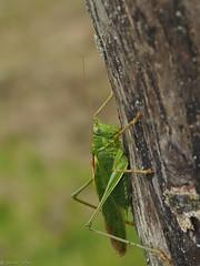 Big green cricket (jesse_the_ros) Tags: macro tree green nature animal insect photography big log outdoor exploring cricket explore zoetermeer balij