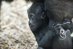 Baby Gorilla Looking at Big Sister (Eric Kilby) Tags: park baby animal zoo franklin gorilla massachusetts ape primate aziza westernlowland