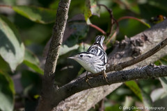 Black and white Warbler (female) (greg obierek) Tags: bird nature canon woodlands delaware avian warbler migrating bombayhook blackandwhitewarbler mniotiltavaria woodwarbler 700mm bombayhooknwr usnationalwildliferefuges ef500mmf4isl ef14xiii eos7dmkii