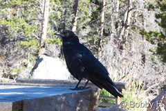 September 26, 2015 - Curious crow in Rocky Mountain National Park. (Bobby H)