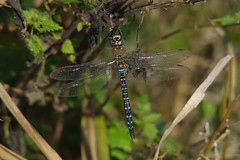 IMGP5683 Migrant hawker (m), Welney Washes, October 2015 (bobchappell55) Tags: nature insect dragonfly wildlife reserve hawker wwt migrant welney washes