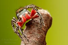 20150509-IMG_3500 (Sean McCann (ibycter.com)) Tags: spider bc jumpingspider salticidae islandviewbeach habronattus habronattusamericanus salitcidae