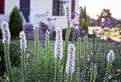 The Front Garden (joeldinda) Tags: flowers house film home yard garden kodak michigan july 1999 porch scanned mulliken negatives liatris gayfeather gold400 2989 kodakpremiumprocessing98