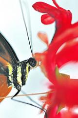 Heliconius sp JVA_0080 (mrjean.eu) Tags: sara sp atlas demi insectes attacus papillons heliconiinae deuil heliconius phaetusa dryatula