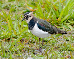 Northern Lapwing (Marcus Pool) Tags: nikon wildlife feathers aves animalia northernlapwing wader charadriiformes chordata neornithes charadriidae neoaves neognathae d7100 charadrii