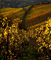 Yellow 'Y' (fnumrich) Tags: autumn color yellow y wineyard weinstadt