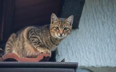 junior (12) (Vlado Ferenčić) Tags: cats animal animals kitty junior catsdogs hrvatska hrvatskozagorje nikkor8020028 zagorje nikond600 klenovnik
